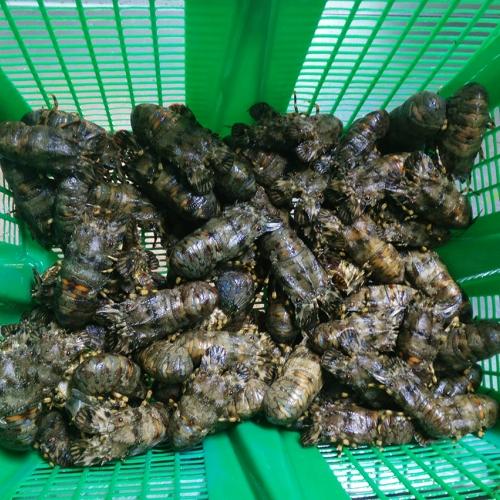 Santiaguiño blanco gallego vivo cocido (1)