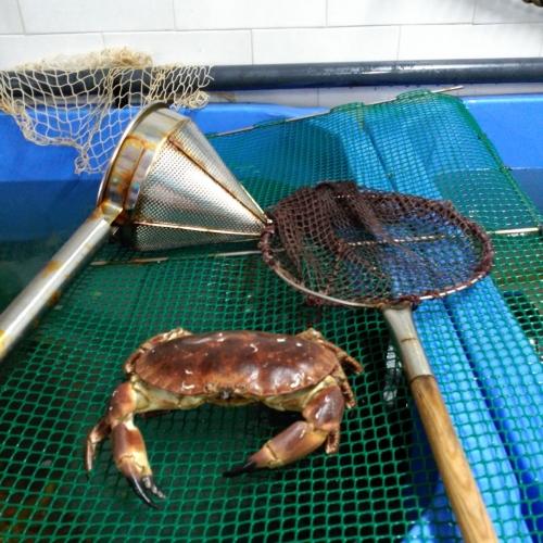 Buey de mar gallego vivo cocido (2)