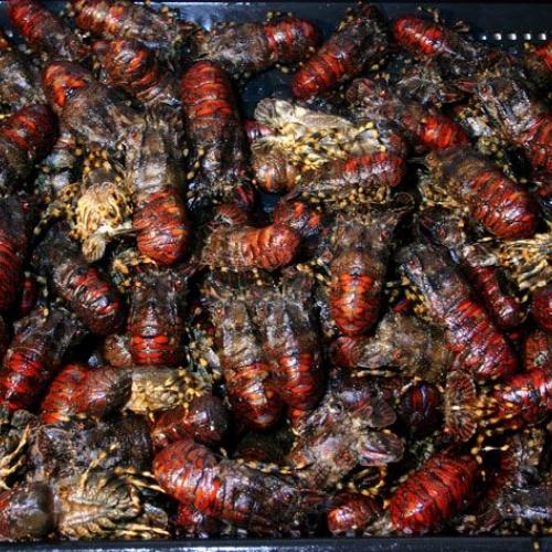 Santiaguiño rojo gallego vivo cocido (1)